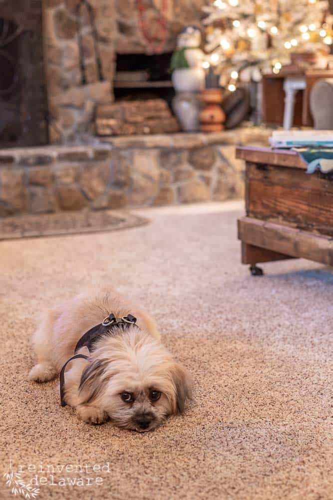 close up of cute Lhasa Apso doggie on living room floor with fireplace in background