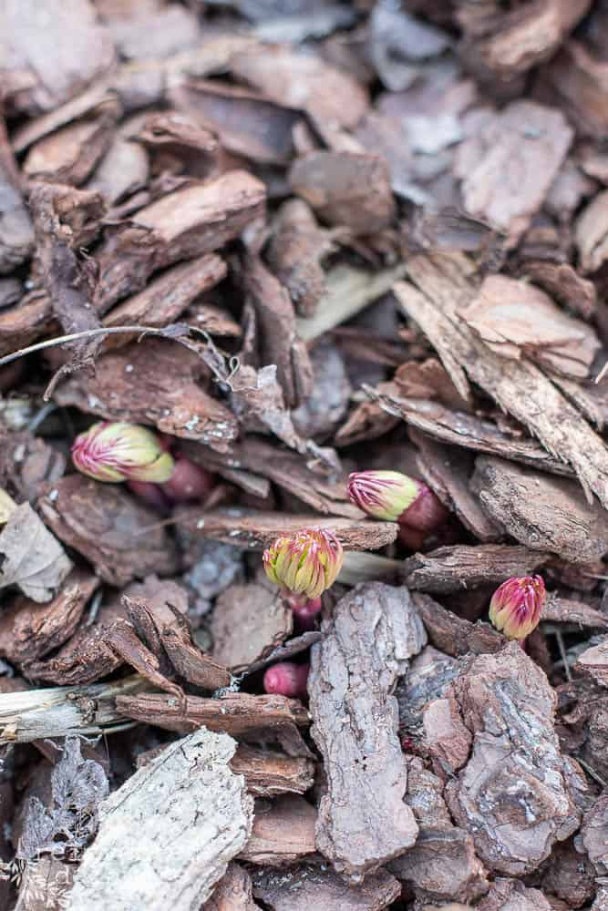 peonies sprouting up in spring