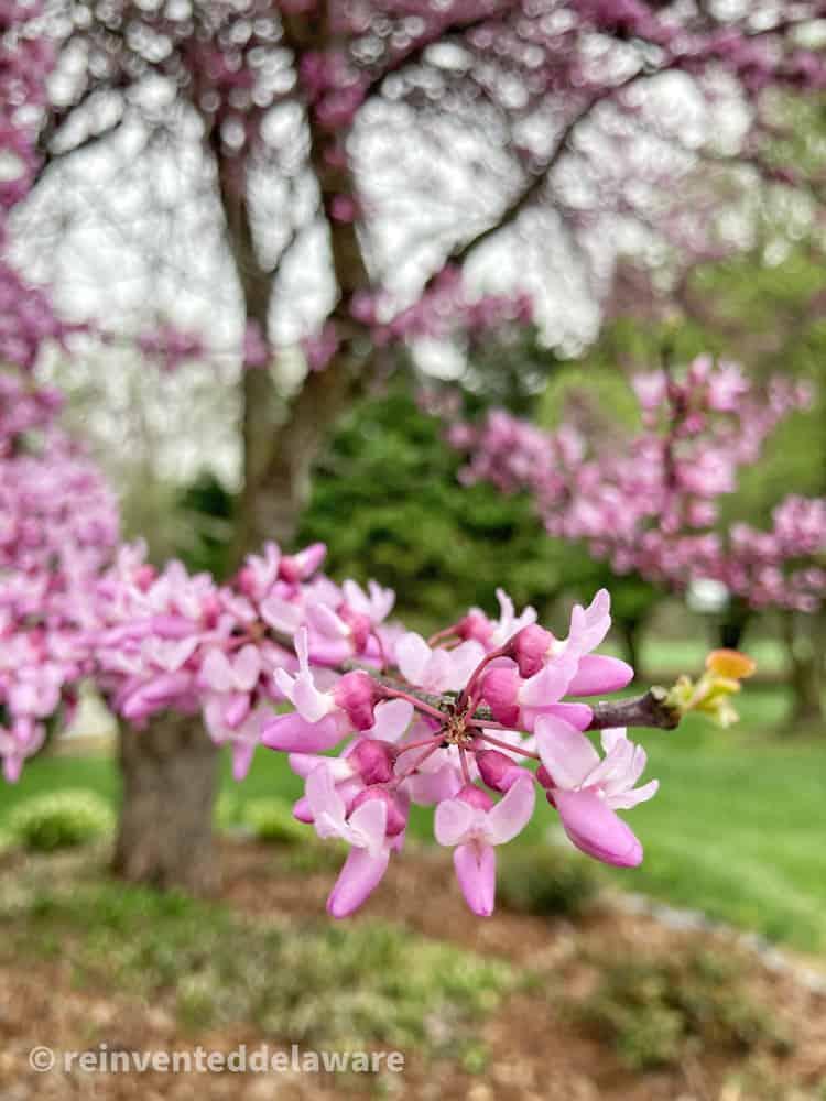 Eastern Redbud blooms on tree branch