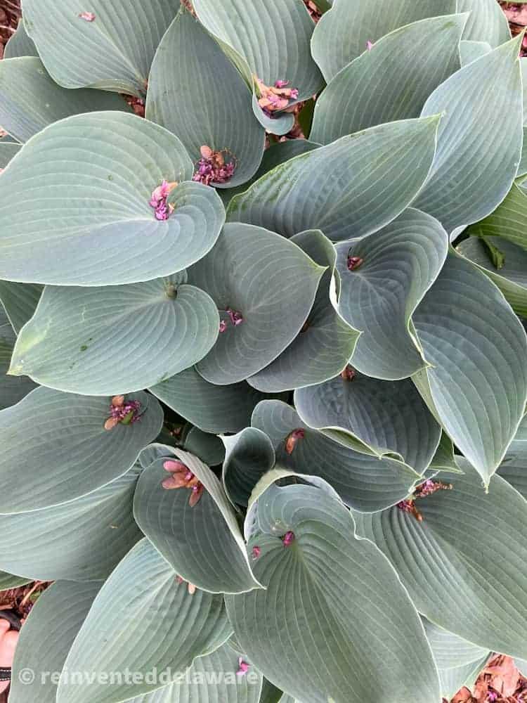 hosta plant in full leaf