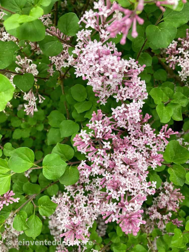 Korean Lilacs for backyard wedding